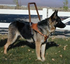 Picture of guide dog in harness